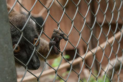 Maki catta lemur in cage Royalty Free Stock Photography