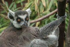 Maki catta lemur Stock Photos