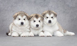 Portrait of malamute puppies Royalty Free Stock Photos