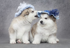 Portrait of malamute puppies Stock Photography