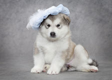 Portrait of malamute puppy Royalty Free Stock Images