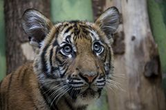 Portrait of Malayan Tiger cub. royalty free stock image