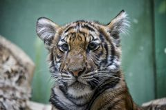 Portrait of Malayan Tiger cub. stock images