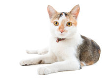 Portrait Malaysian short haired cat Stock Photo
