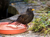 Portrait of male adult common blackbird, Turdus merula, sitting. Portrait of wet male adult common blackbird, Turdus merula, sitting on edge of water bowl after Stock Image
