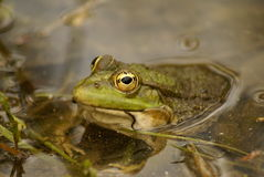 Portrait of male adult marsh frog Royalty Free Stock Images