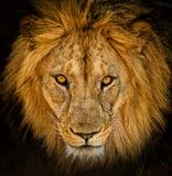 Portrait of a male African lion. Close-up portrait of a male African lion royalty free stock photography