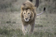 Portrait of male african lion Royalty Free Stock Photo