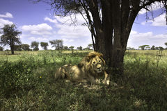 Portrait of male african lion Stock Image
