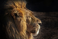 Portrait of a male African Lion (Panthera leo). Royalty Free Stock Photos