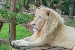 Portrait of male African white lion in safari Royalty Free Stock Image
