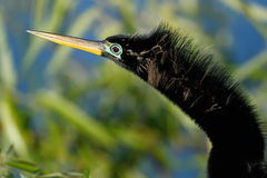 Portrait of male Anhinga in breeding colors Stock Photo