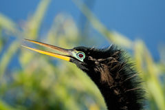 Portrait of male Anhinga in breeding colors Stock Images
