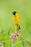 Portrait of Male Asian golden weaver(Ploceus hypoxanthus). Catch on flower in nature of Thailand Royalty Free Stock Photography