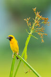 Portrait of Male Asian golden weaver. (Ploceus hypoxanthus)  in nature of Thailand Royalty Free Stock Image