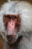 Portrait of a male baboon with gray hair royalty free stock photos