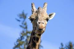 Portrait male Baringo Giraffe, Giraffa camelopardalis Rothschild Stock Photos