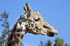 Portrait male Baringo Giraffe, Giraffa camelopardalis Rothschild Stock Photography