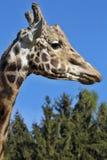 Portrait male Baringo Giraffe, Giraffa camelopardalis Rothschild Royalty Free Stock Photo