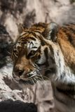 Portrait of a male Bengal Tiger. Portrait of a Bengal Tiger Royalty Free Stock Images