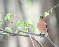 Portrait of male bird Finch sitting and singing on a branch with. Fresh leaves in spring Park Royalty Free Stock Images