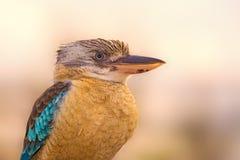 Portrait of male blue-winged kookaburra Stock Photos