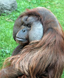 Portrait of male Bornean orangutan Pongo pygmaeus Stock Photo