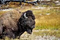 Male Buffalo laying in a field stock images