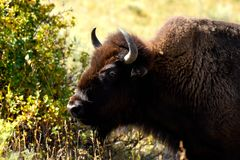 Portrait of a male Buffalo royalty free stock photography