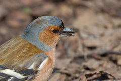 Portrait of Male Chaffinch. Close-up, Udelny Park, St.Petersburg, Russia Royalty Free Stock Photos