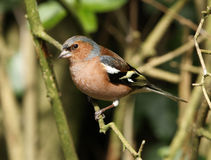 Portrait of a Male Chaffinch Stock Photography