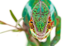 Portrait of male chameleon royalty free stock photos
