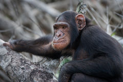 Portrait of a male chimpanzee. Republic of the Congo. Conkouati-Douli Reserve. Royalty Free Stock Photo