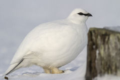Portrait of a male Commander ptarmigan near the stone Stock Photo