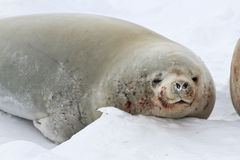 Portrait of male crabeater seals lying on the ice Royalty Free Stock Images