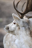 Portrait of male deer Royalty Free Stock Images