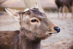 Portrait of a male deer Stock Photos