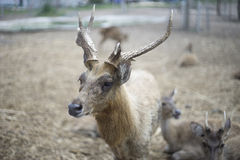 Portrait of male deer and beautiful horn with blur background Royalty Free Stock Image