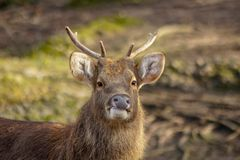 Portrait of a male deer stock photography