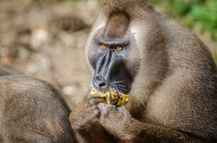 Portrait of male drill monkey eating banana in rain forest of Nigeria Royalty Free Stock Image