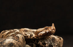 Portrait of a male Eastern sand viper Stock Image