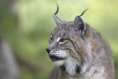 Portrait of male Eurasian lynx Stock Photography