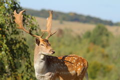 Portrait of a male fallow deer Royalty Free Stock Photo