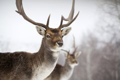 Deer close-up in wintertime Royalty Free Stock Images