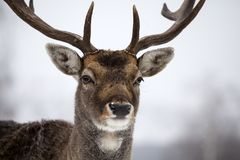 Deer in wintertime. Portrait of a male of fallow deer in the snow Royalty Free Stock Photography