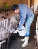 Portrait of male farmer feeding domestic pigs. With all-mash forage on farm royalty free stock image
