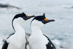 Portrait of male and female Antarctic blue-eyed cormorant. Stock Photos