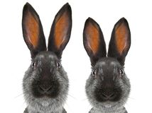 Portrait male and female rabbits distorted by a wide-angle close-up. On a white background Royalty Free Stock Images