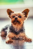 Portrait of male or female Yorkshire Terrier dog.  Royalty Free Stock Photos