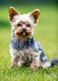 Portrait of male or female Yorkshire Terrier dog.  Royalty Free Stock Images